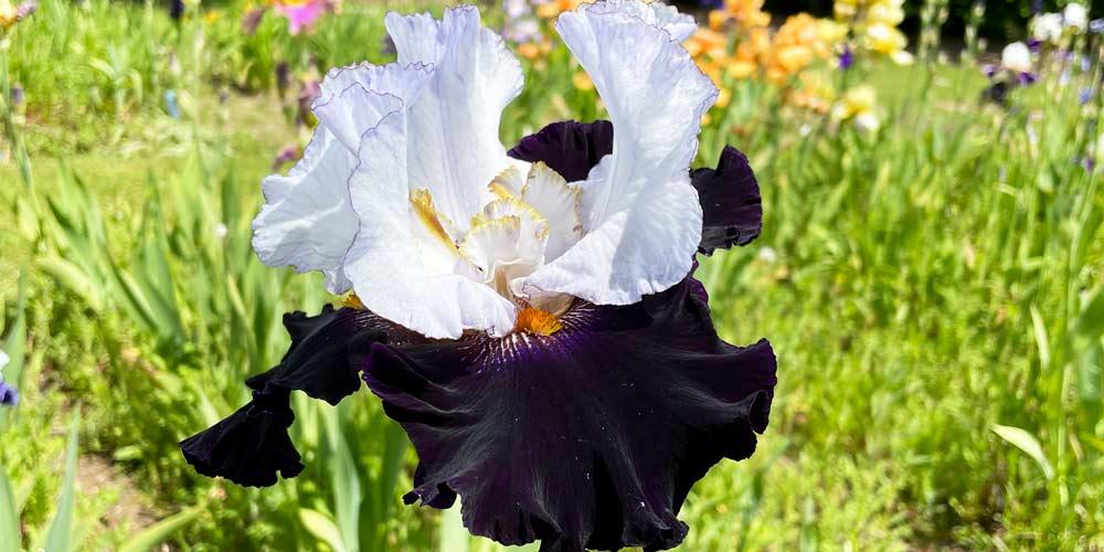 Iris varieties