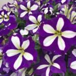 Petunia colours