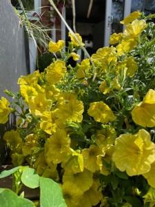 Petunia Hello Yellow