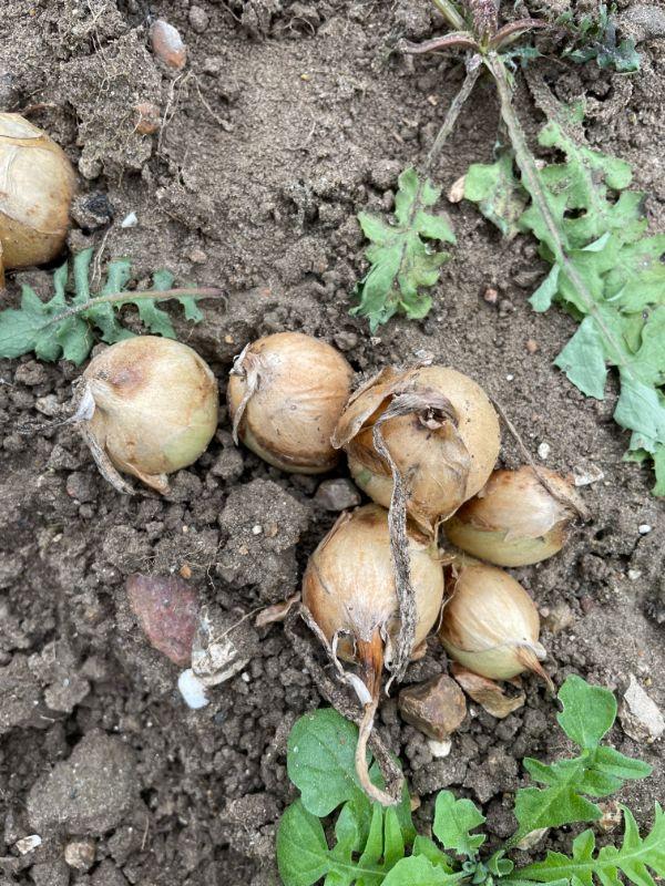 Onion Bulb Top Gold
