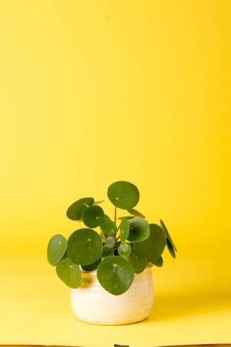 Pilea peperomioides (Pancake Plant): Also known as the Chinese Money Plant, this cute thing was once traded heavily in the houseplant underworld. Thankfully, it's more widely available these days!