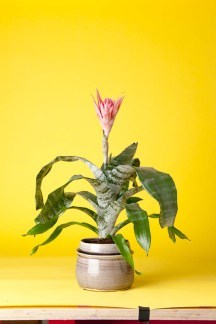 Aechmea (Urn Plant): What a handsome beast this is! A Bromeliad, so used to clinging to trees in the rainforest, the Aechmea throws up a pink firecracker bloom each year, and should be watered through the central urn!