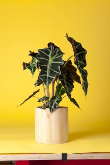 Alocasia (Spiderman Plant): This native of the Philippines is modern, sleek and sexy! Loves tropical conditions, so will enjoy a warm bathroom. The metallic leaves are tough and trouble-free.