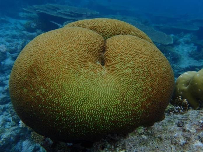 Corail cerveau dans les maldives