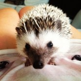 African Pygmy Hedgehog exploring