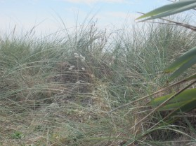 beach grasses and a snippet of flax (mrscarmichael)