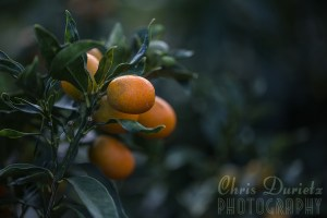 I really love photographing oranges, especially in this kind of light