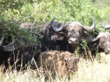 buffalo with baby