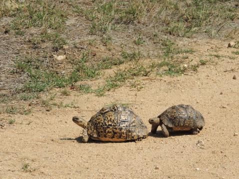 saw so many tortoise
