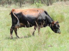 Beautiful cows grazing