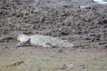 Sunbathing crocodile