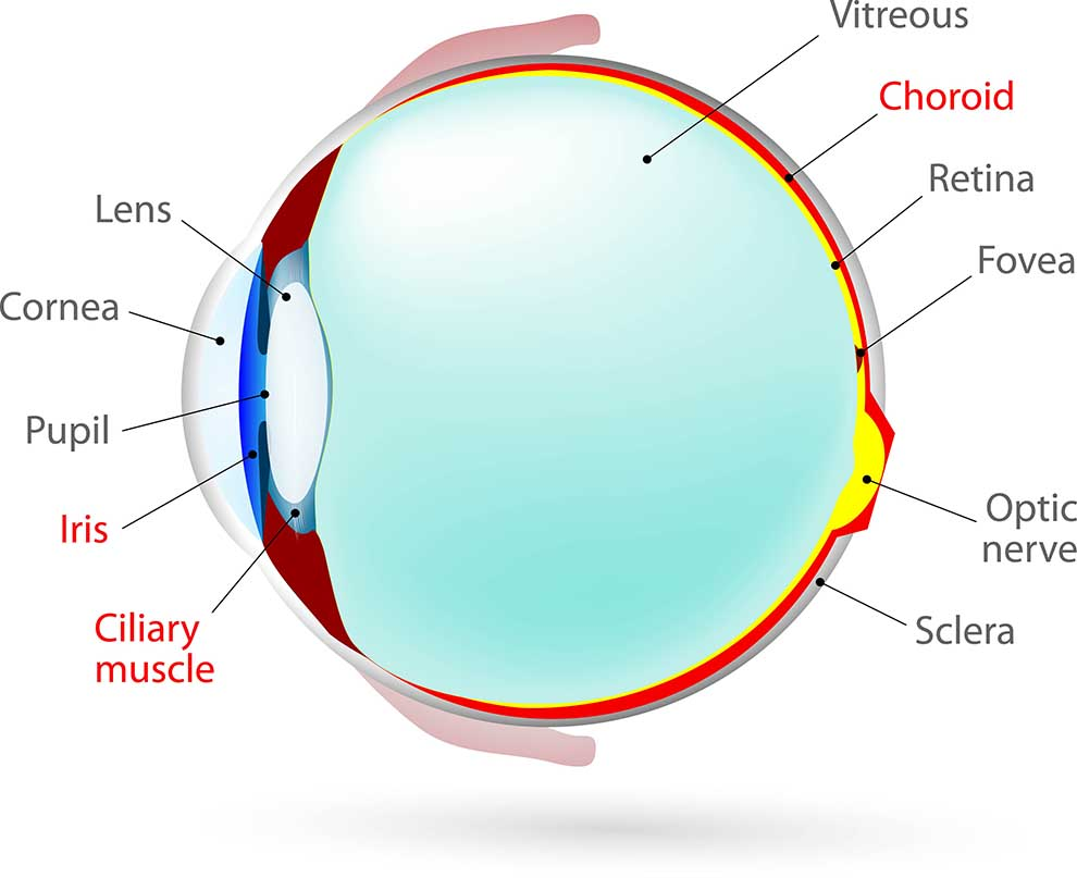 Schematic eye illustration highlighting the uveal tract - the part of the eye affected in uveitis.