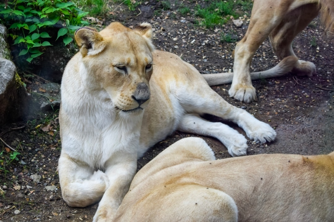 A photograph of the lions in the Big Cat Trail at Paradise Wildlife Park - Paradise Wildlife Park - A Review - Mrs H's favourite things