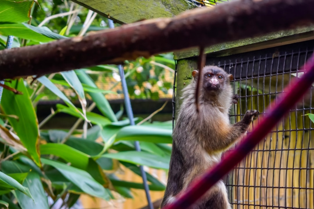 A photograph of a monkey at Paradise Wildlife Park - Paradise Wildlife Park - A Review - Mrs H's favourite things