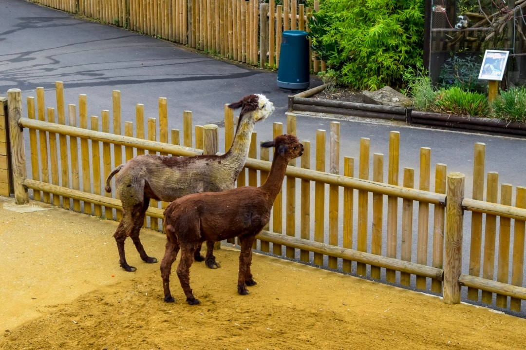 A photograph of two llamas at Paradise Wildlife Park - Paradise Wildlife Park - A Review - Mrs H's favourite things