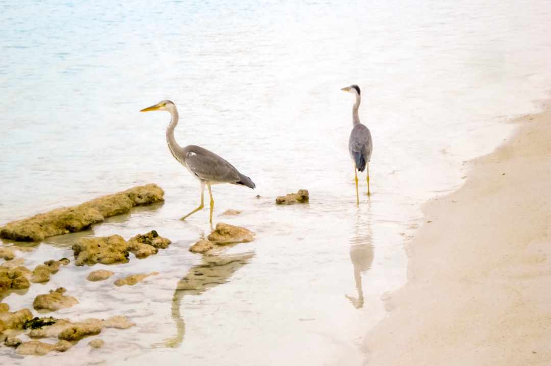 A photograph of some herons strolling in the shallows of the Indian Ocean - My Favourite Holiday - Our Honeymoon In The Maldives - Mrs H's favourite things