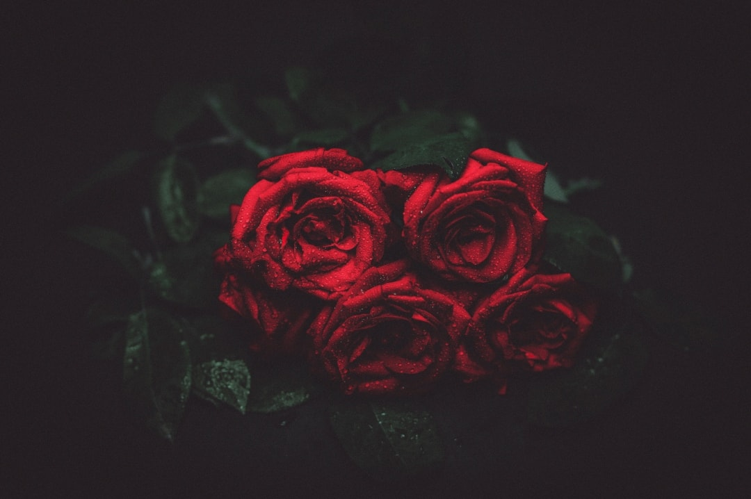 A photograph of a red rose with a black background - Gifts For A Grieving Friend - Mrs H's favourite things