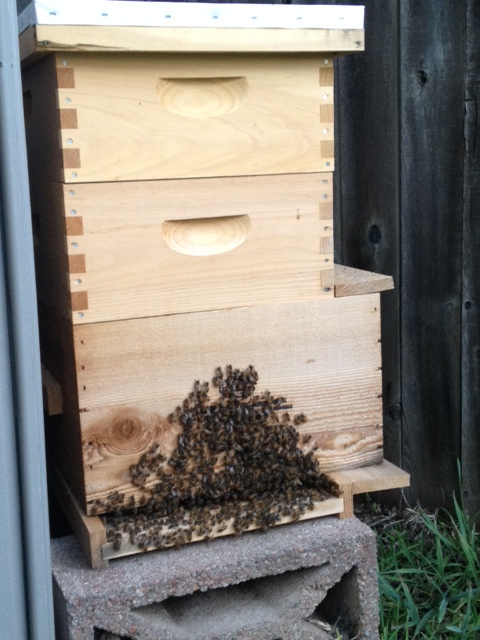 Bees bearding on the front of a hive