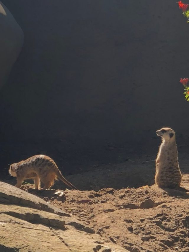 A meerkat at the San Diego Zoo.
