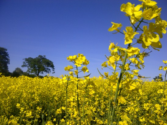 Image of a field of rapeseed