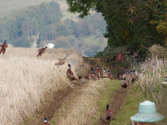Image of lots of pheasants near feeders in a field