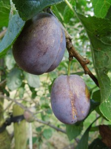 Image of plums hanging from tree