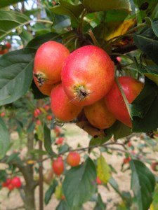 Image of crabapples on a tree