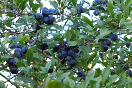 Image of sloes growing in hedgerow