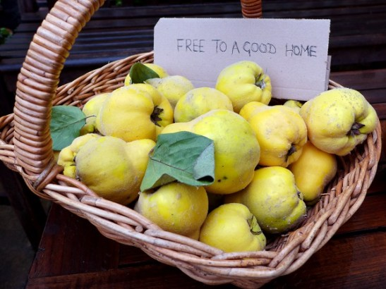 Image of a basket of quince