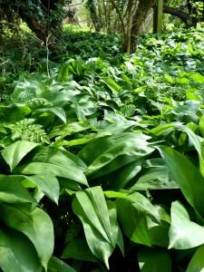 Image of wild garlic in woods