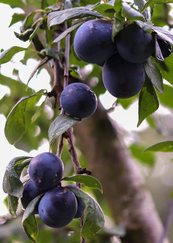 Image of black bullace plums