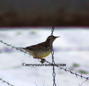Oregon Western Meadowlark