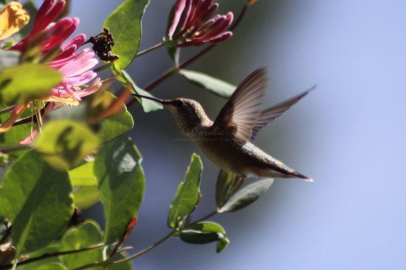 Hummingbird On The Honeysuckle