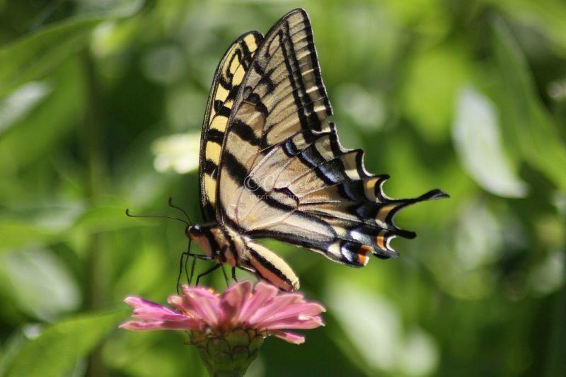 Swallowtail Butterflies and The Zinnia Flowers
