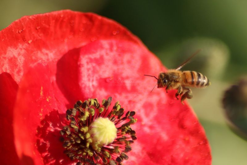 Honey Bee Coming In For A Landing