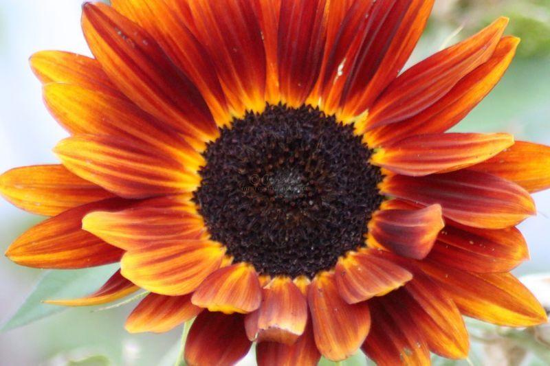 Sunflowers From My Garden