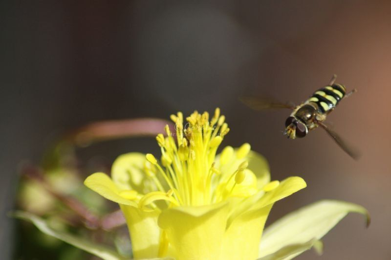 The Tiny World Of The Hoverfly Insect