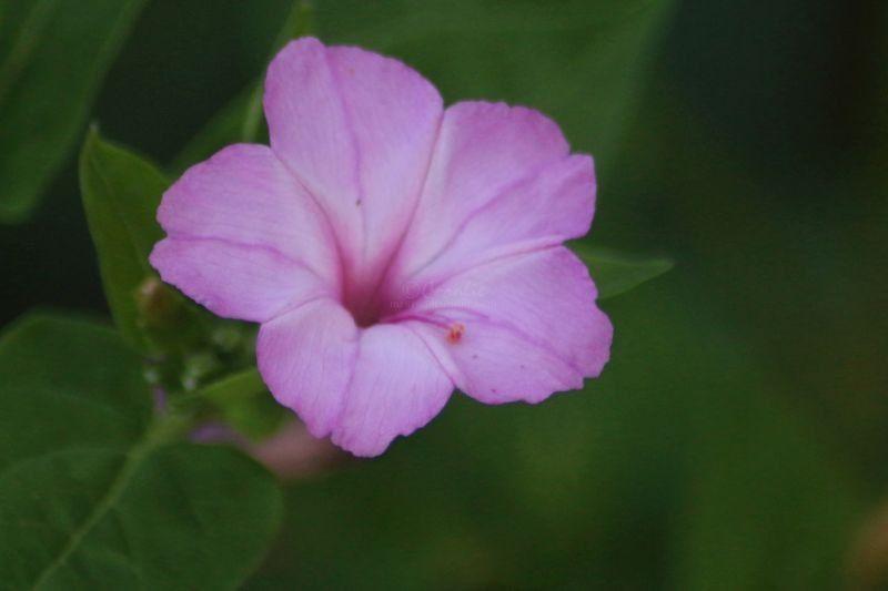 Four Oclock Flowers in Bloom