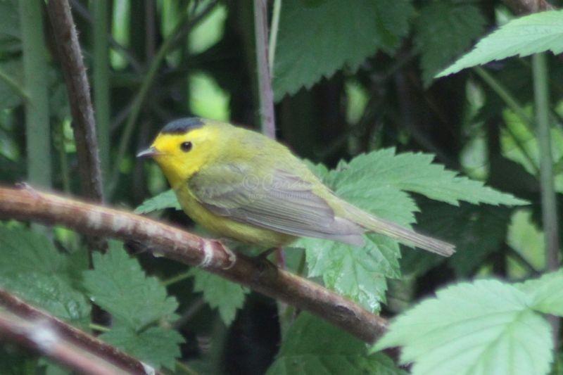 Wilson's Warbler Bird