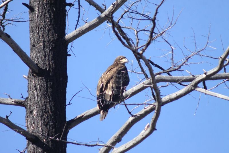 Fledgling Bald Eagle In The High Desert