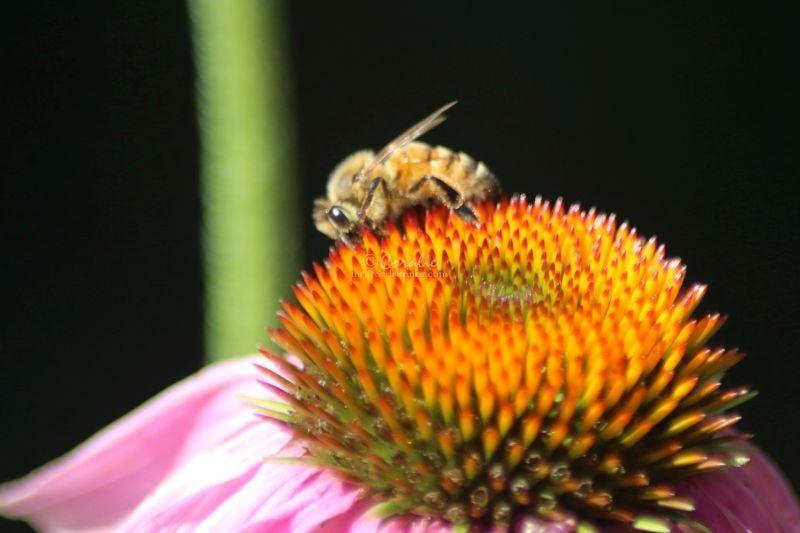 Coneflower Blooms