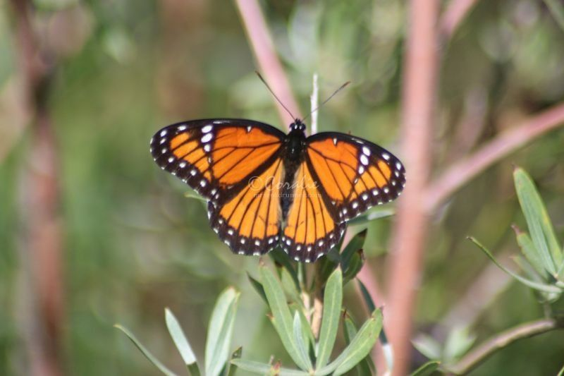 Viceroy Butterfly In The High Desert