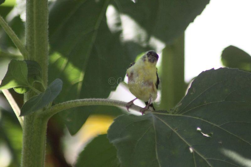 American Goldfinch Fledgling