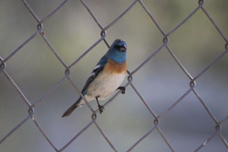 Lazuli Bunting birds Visiting