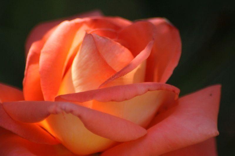Rose Bloom in Orange