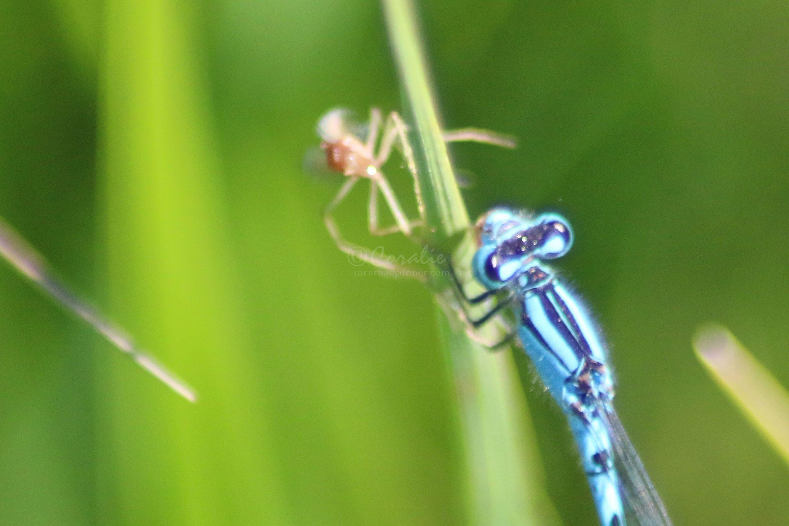 Vivid Dancer Dragonfly Eating A Spider