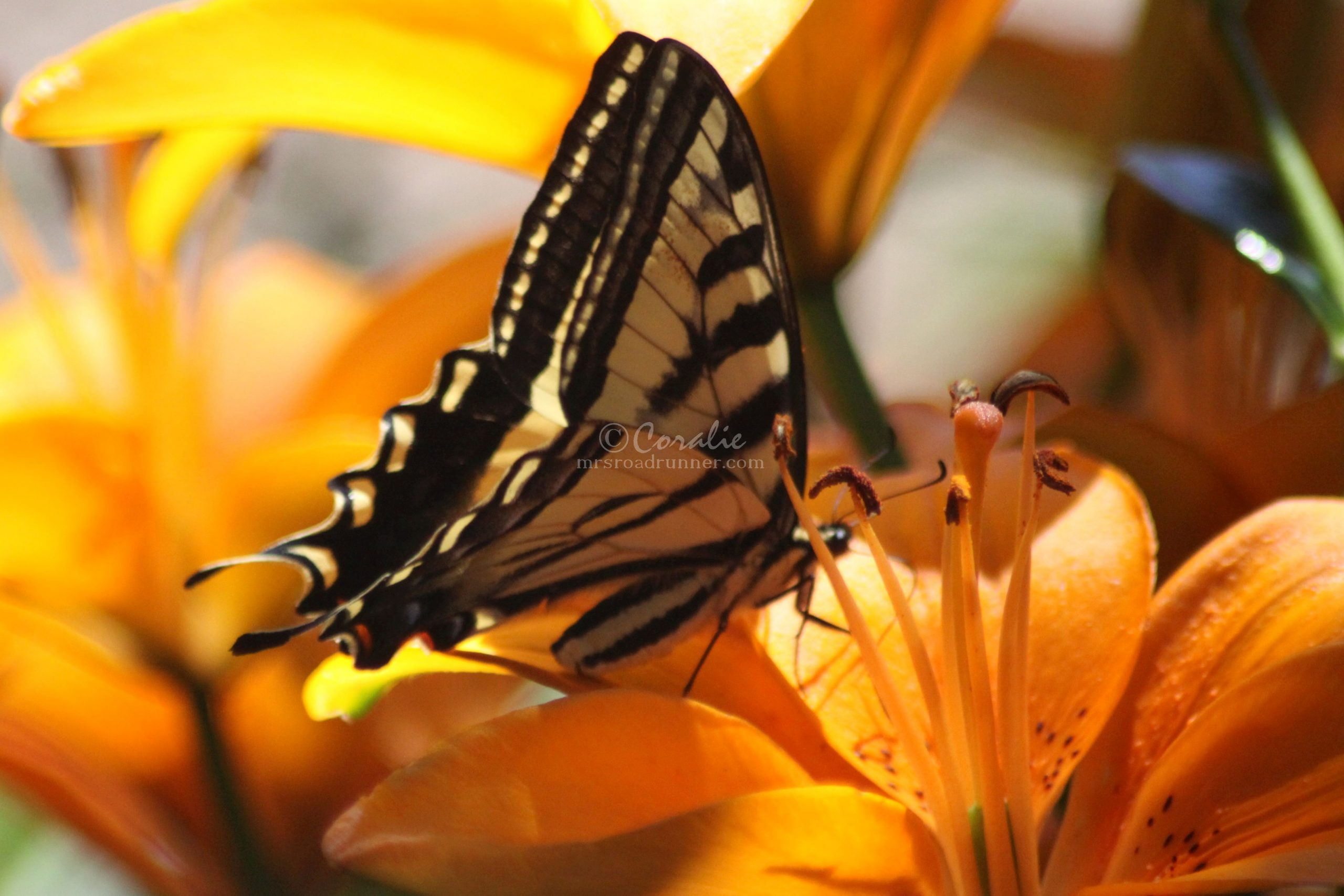 Swallowtail Butterfly On The Orange Lily Flower
