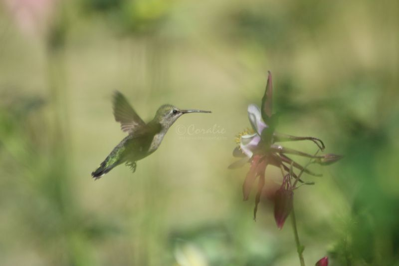 Hummingbird On The Columbine Flower