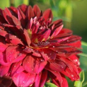 Arabian Night Dahlia Flower Bloom 061 Web Download