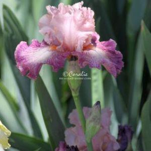 Bearded Iris Flower 122 Web Download